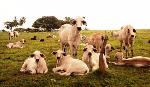 Vacas colombianas