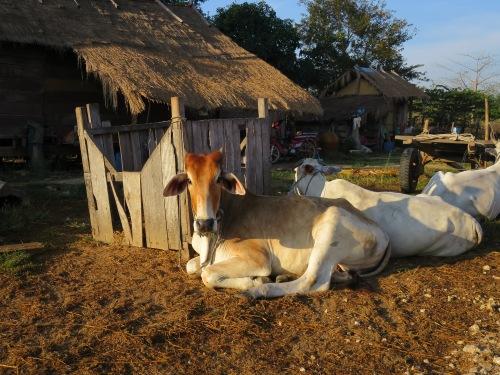 Vacas camboyanas