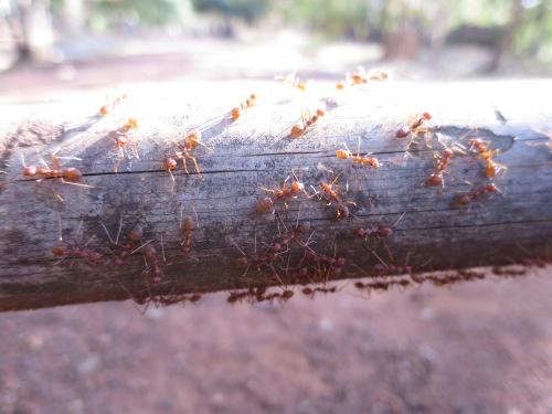 Hormigas camboyanas