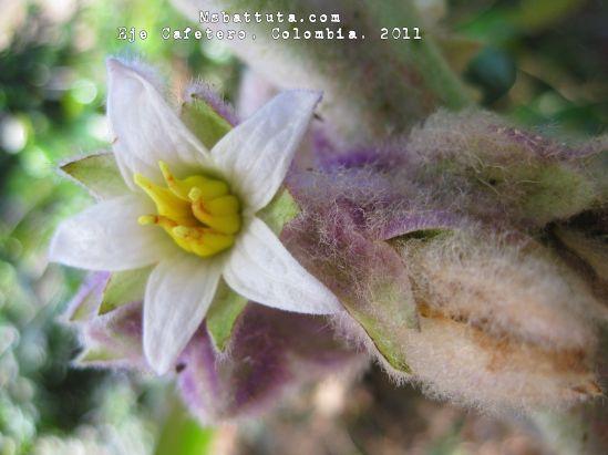 Flor de lulo